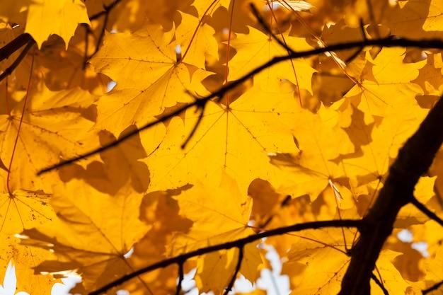 Herbstbaum mit laub änderte die farbe in der herbstsaison, nahaufnahme von laubbäumen in der herbstsaison während des blattfalls, natur