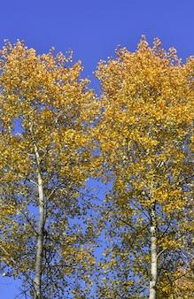 Herbstbirken auf dem hintergrund des blauen klaren himmels im morgenlicht reine natur sibiriens