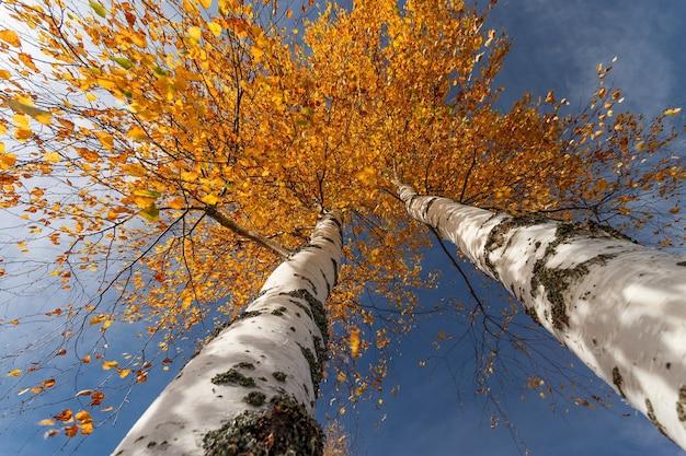 Herbstbirken