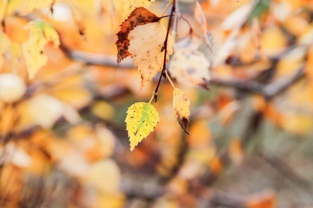 Herbstbirkenzweig mit gelb verlässt im wald.