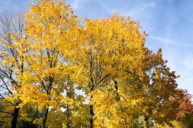 Herbstblätter herbstsaison, veränderungen in der natur zu verschiedenen jahreszeiten, sonniges warmes wetter im park.
