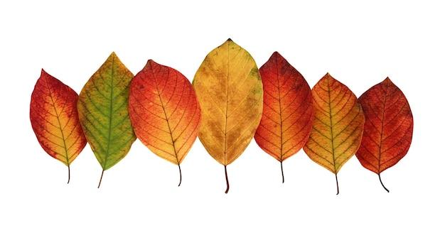 Herbstblätter lokalisiert auf weiß mit beschneidungspfad. sieben mehrfarbige blätter. rotes und gelbes laub. sanddorn.
