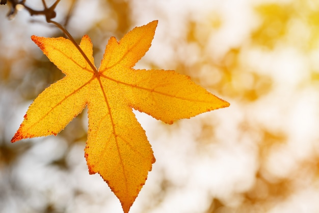 Herbstblatt, alte orange ahornblätter, trockenes laub von bäumen, weichzeichnung, herbstsaison, eine änderung der natur, helles weiches sonnenlicht