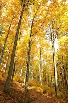 Herbstbuchenwald im sonnenschein
