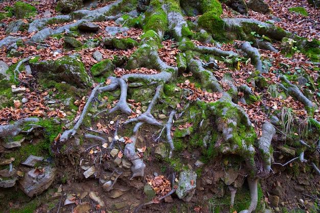 Herbstbuchewaldwurzeln in pyrenäen valle de ordesa