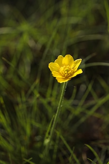 Herbstbutterblume, goldener knopf, ranunculus bullatus