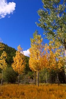 Herbstfallwald mit gelben goldenen pappelbäumen