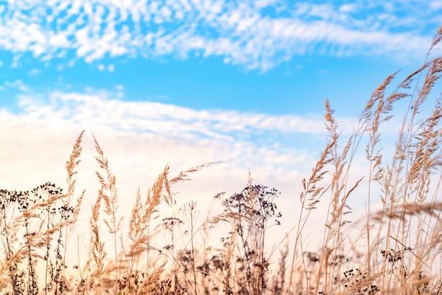 Herbstfeld. trockenes hohes gras und blauer himmel.
