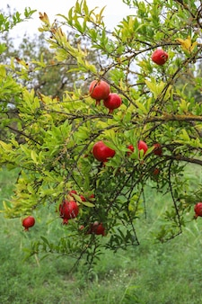 Herbstfrüchte hängen an einem ast im garten.
