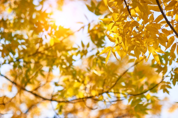 Herbstgelbe ascheblätter in den sonnenstrahlen und im klaren himmel