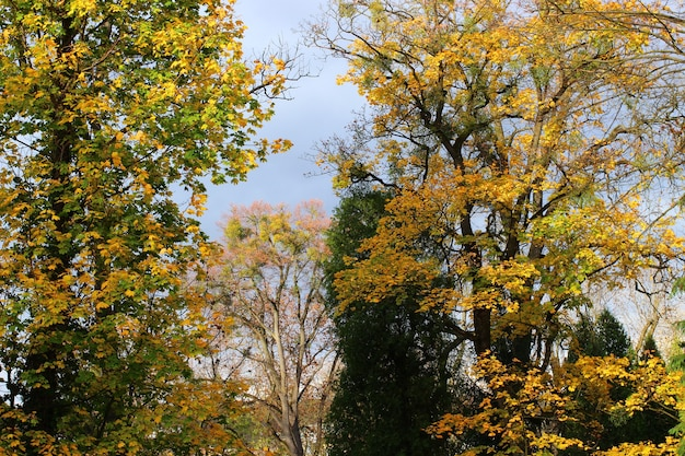 Herbstgelbe bäume