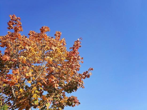 Herbstgelbe blätter in sonnenstrahlen und blauem himmel