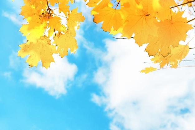 Herbstgelbe und orangefarbene ahornblätter auf dem hintergrund des blauen himmels