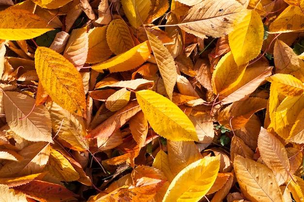 Herbstgelbes laub während des laubfalls fiel in der natur im park ins gras
