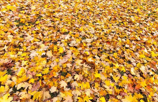 Herbstgelbes laub während des laubfalls, in der natur im park, der in das gras gefallen ist, nahaufnahme