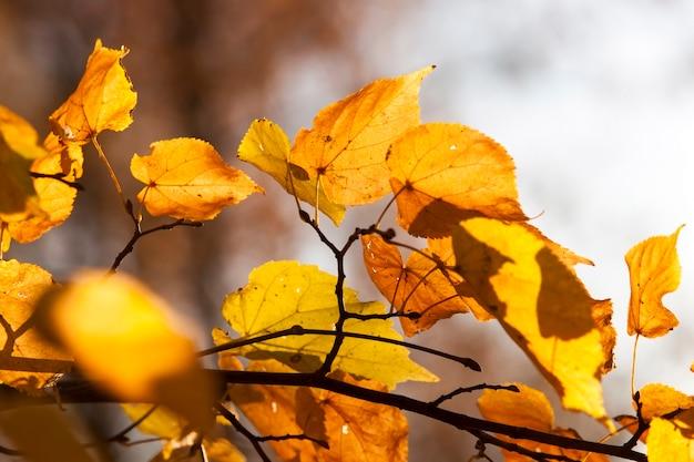 Herbstgelbes laub während des laubfalls, in der natur im park und in den ästen