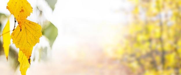 Herbsthintergrund, banner, mit gelben birkenblättern auf unscharfem hintergrund, kopierraum, panorama