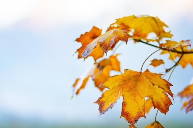 Herbsthintergrund mit ahornblättern. gelbe ahornblätter auf einem unscharfen hintergrund. speicherplatz kopieren