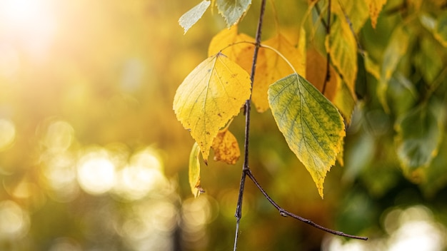 Herbsthintergrund mit bunten birkenblättern auf unscharfem hintergrund, kopierraum