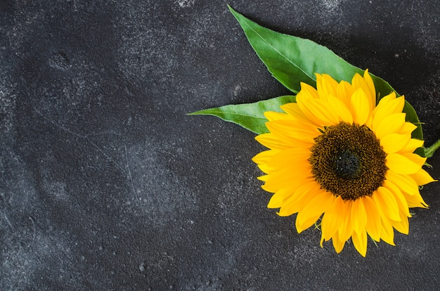 Herbsthintergrund mit einer gelben sonnenblume auf dunklem beton.