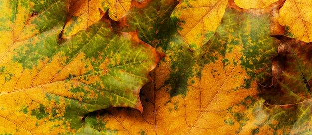 Herbsthintergrund mit farbigen ahornblättern.