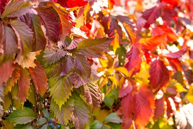 Herbsthintergrund von blättern der roten efeukriechpflanze