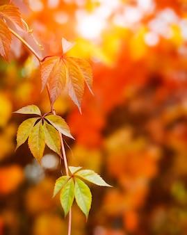 Herbsthintergrundentwurf mit bunten roten und gelben blättern der bindekrautpflanze mit unscharfem freien raumsonnenblendstrahl