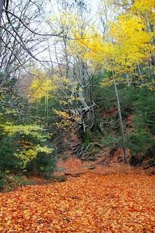 Herbsthundertjähriger buchenbaum in den goldenen blättern des falles