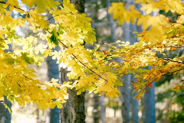 Herbstkastanienblätter auf einem ast