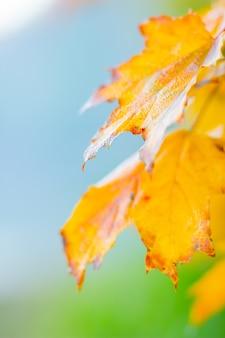 Herbstkonzept mit ahornblättern. gelbe ahornblätter