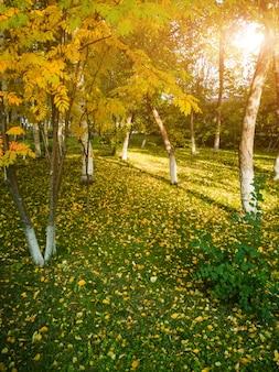Herbstlandschaft: ebereschenbaum mit vergilbten blättern.