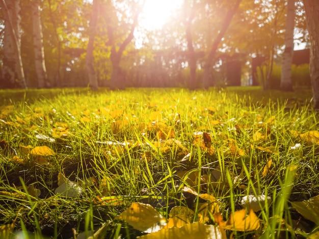 Herbstlandschaft: grünes gras mit herbstgelbblättern.