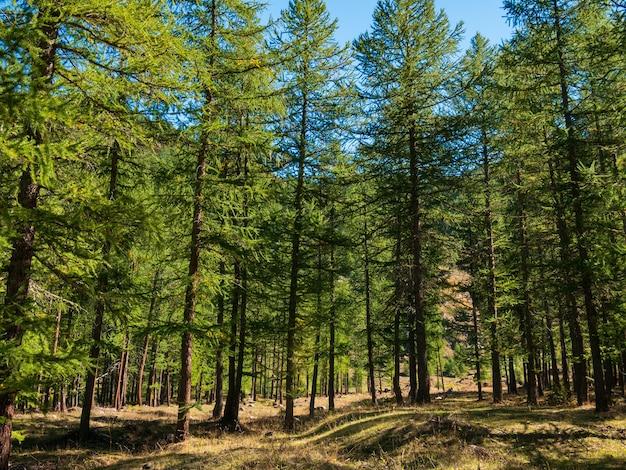 Herbstlandschaft im alpental, wiesen und lärchenwald. bergblick, herbstliche farben, klarer blauer himmel.