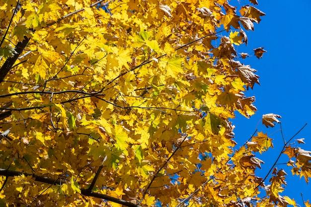 Herbstlaub der baumnahaufnahme. fallen sie natürlichen hintergrund von gelb-orange-grünem laub. szenische naturkulisse der herbstblätter. mehrfarbiger herbstahornbaum. buntes laub im sonnenlicht
