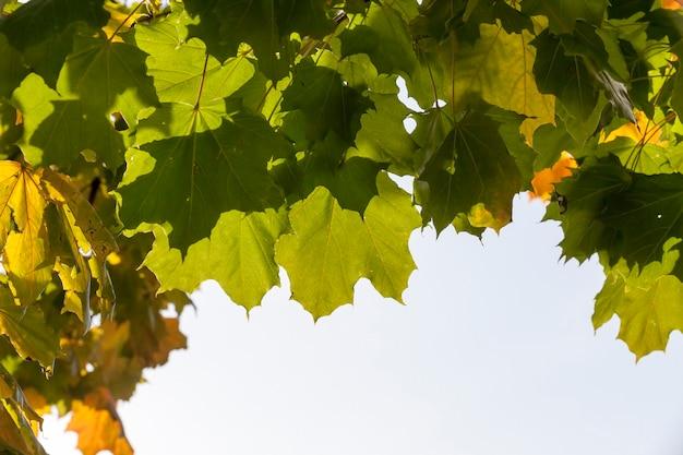 Herbstlaub eines ahornbaums auf einem baum in der herbstsaison