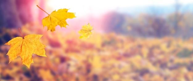 Herbstlaub fällt von den bäumen. gelbe ahornblätter, die von einem baum auf einem unscharfen hintergrund in den strahlen der abendsonne fallen