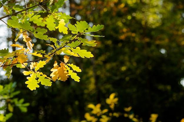 Herbstlaub hintergrund. bunte blätter am sonnigen tag, parkszene. grüner und gelber eichenzweig. goldene eichenblätter von bäumen am bunten herbstparkhintergrund, sonniges wetter