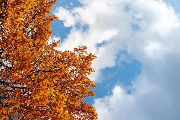 Herbstlaubahorn auf baum gegen den blauen himmel.