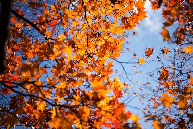 Herbstlaubhintergrund, die blätter ändern farbe.