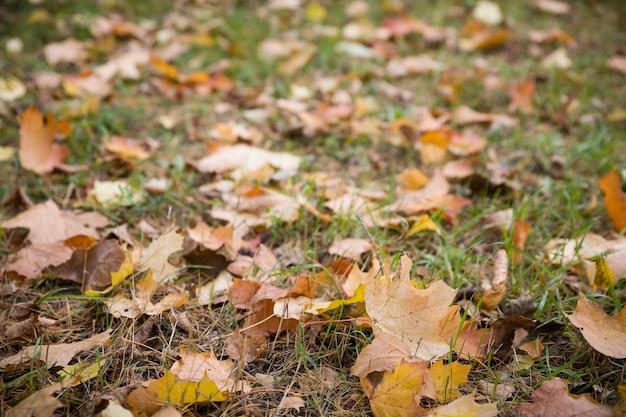 Herbstliche ahornblätter auf dem gras und der straße