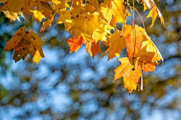 Herbstliche ahornblätter in unscharfem hintergrund