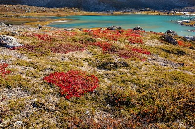 Herbstliche hochlandpflanzen in norwegen gamle strynefjellsvegen