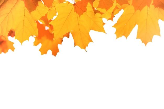 Herbstliche rote und gelbe ahornblätter isoliert auf weißem hintergrund