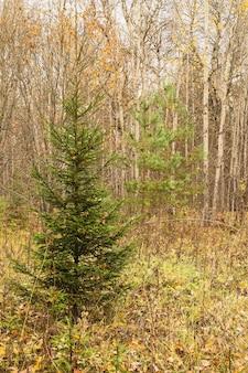 Herbstliche waldlandschaft, gemischter laub- und nadelwald. verschiedene bäume, tannen, kiefern und birken im herbst wilde natur