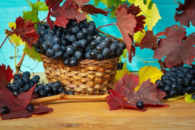 Herbstliche weinlese. bündel dunkle trauben mit rot- und gelbblättern und -rebe auf einem holztisch auf einem blauen hintergrund nahaufnahme.
