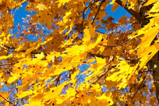 Herbstnatur mit bäumen mit vergilbten blättern und bäumen mit umgestürzten blättern