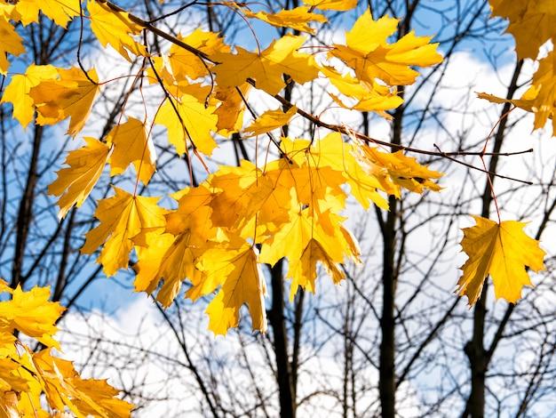 Herbstnaturhintergrund mit ahornniederlassungen