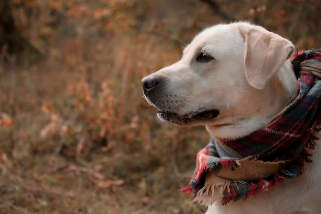 Herbstporträt im profil eines labradorhundes in einem karierten schal