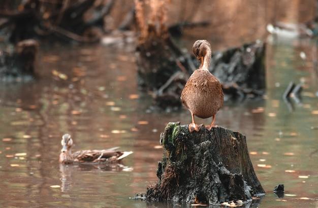 Herbstreinigung. schöne ente säubert seine federn, die auf einem stumpf, gegen den herbstsee stehen