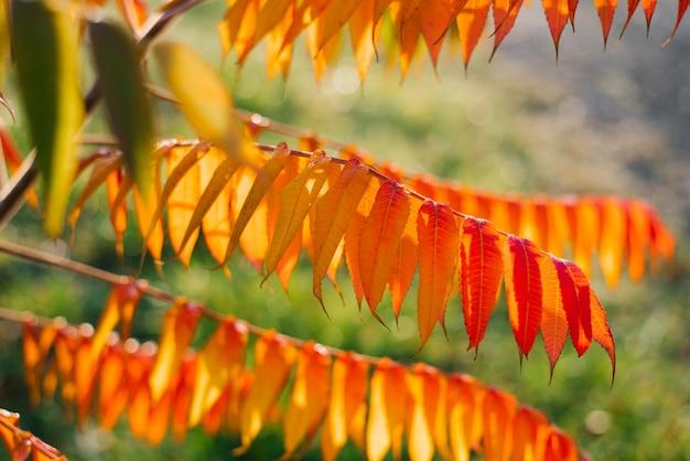 Herbstrote orangefarbene blätter von sumach oder essigbaum